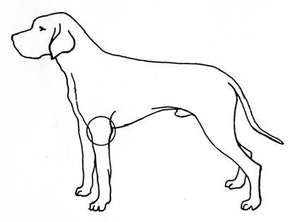 Abbildung 1: Lokalisation des Ellbogengelenks (Kreis) beim Hund
